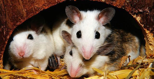 Mäusehaltung artgerecht