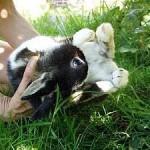 Schiefhals beim Kaninchen