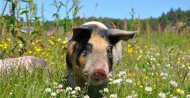 Ein glückliches Schwein