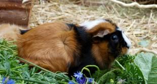 meerschweinchen tierrechtsorganisation einhorn e v. Black Bedroom Furniture Sets. Home Design Ideas